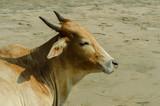 the cow lies on the beach, the cow walks along the beach,