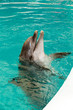 Quadro Common dolphin portrait while looking at you