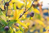 Fruits of medlar tree hang between autumn leaves - 248120403