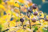 Fruits of medlar tree hang between autumn leaves - 248120404