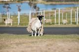 Sheep shedding it wool coat - 248122810