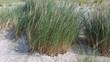 canvas print picture - Strandhafer, Ammophila, Arenaria