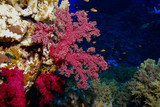 Coral Reef at the Red Sea, Egypt