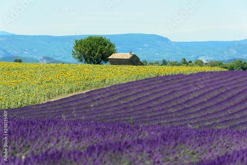 Foto Murales Lavendelfeld (Lavandula angustifolia), Valensole, Département Alpes-de-Haute-Provence, Provence-Alpes-Côte d'Azur, Frankreich, Europa