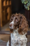 Brown and white springer spaniel sat at the front door looking to the side. - 248143452