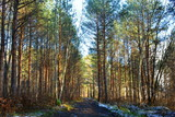 The road in a pine forest in the sunlight. - 248144811