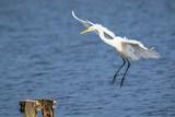 Great egret Ardea alba waterfowl closeup - 248152835