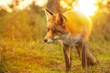 Wild red fox Vulpes Vulpes evening sunset