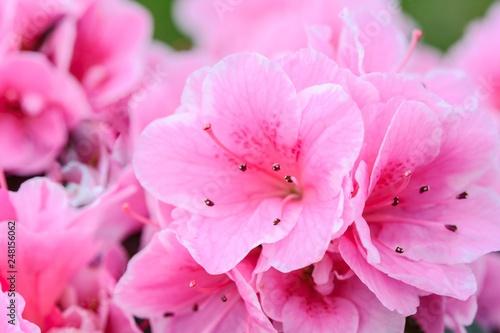 pink flower background - 248156062