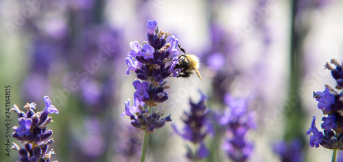 Panorama with bee in purple lavender field - 248164805