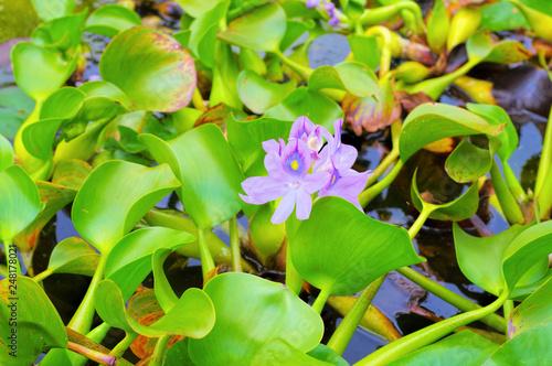 canvas print picture Wasserhyazinthe auf einem Teich - Water hyacinth on a pond