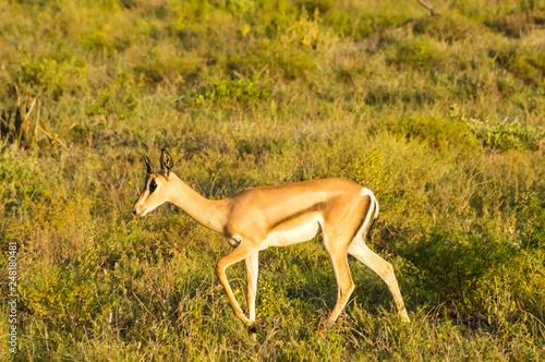 Young female antelope in the savannah of Samburu