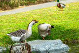 Funny African Geese  - 248192437