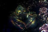 homarus lobster underwater