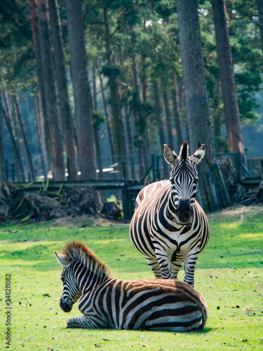 Two zebras, one standing and one sitting in the meadow