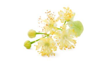 Eine Lindenblüte Nahaufnahme