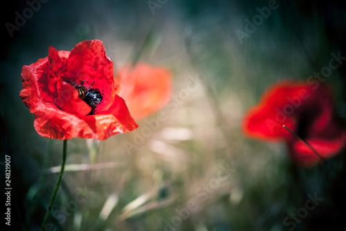 Red poppy flower - 248219017