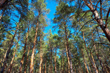 tall pines and their crowns against the blue sky - 248231014