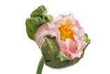 Elegante rosa Mohnbluete Islandmohn isisoliert vor weißem Hintergrund Querformat