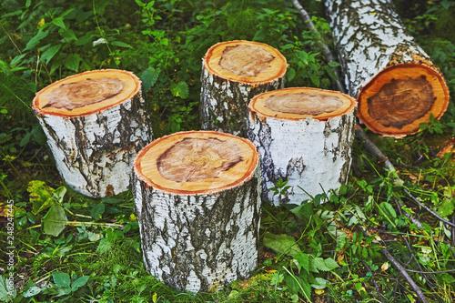 Birch log cutted in forest - 248247445
