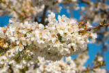 Bumblebee pollinating on cherry flowers blossoms in spring. Bee flying on Prunus avium - 248255080