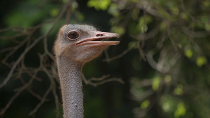 Close-up photos, ostrich head