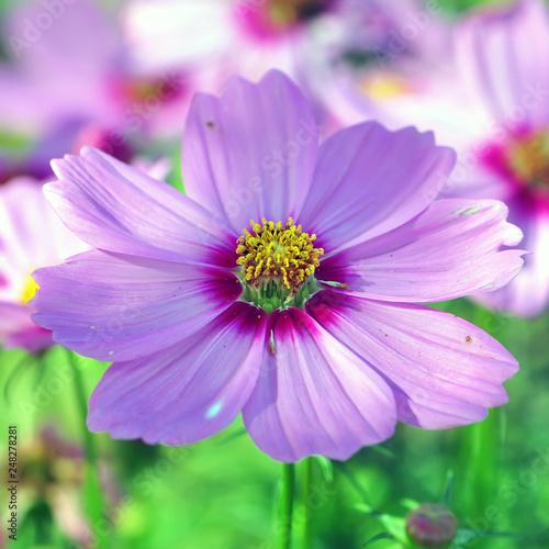 cosmos, closeup of purple flower