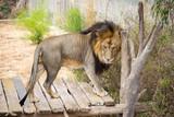 male lion in a zoo
