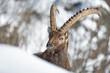 Magnifico ritratto di stambecco nella neve (Capra ibex)