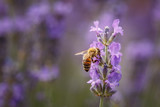 Bee and laverder flower closeup in purple field - 248326289