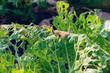 Cabbage leaves eaten by slugs, parasite spoils the harvest