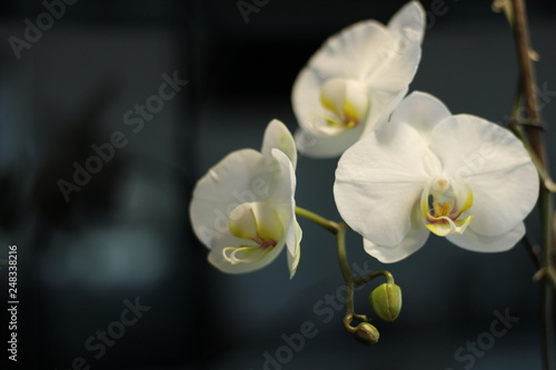 white orchid on black background - 248338216