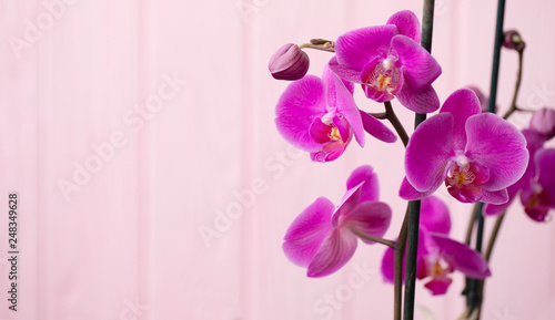 beautiful purple Phalaenopsis orchid flowers, isolated on pink background - 248349628
