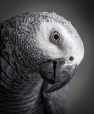 Close up of a head of an African Grey Parrot looking curious