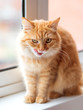 Leinwanddruck Bild - Cute ginger cat siting on window sill and licked. Fluffy pet with funny expression on face.