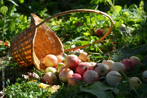 Foto Murales Садовые яблоки рассыпались из корзины