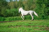 running white beautiful  Orlov trotter stallion at freedom. spring season - 248382038