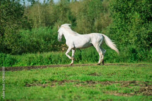 running white beautiful  Orlov trotter stallion at freedom. spring season