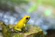 Golden poison dart frog (Phyllobates terribilis) in rainforest. Tropical frog living in South America.