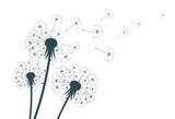 Flower of field dandelion