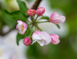 Flowers on the branches of apple trees in spring