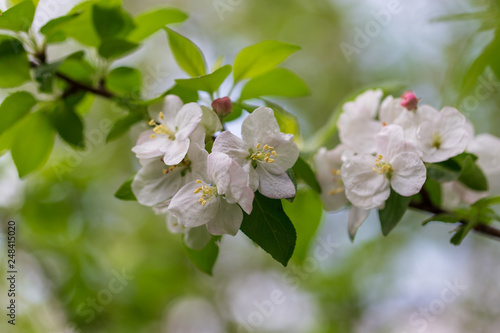 Foto Murales Flowers on the branches of apple trees in spring