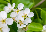 Flowers on pear branches in spring