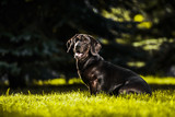 brown dachshund sitting in profile in summer sun