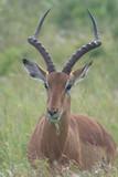 Impala, Kruger Park, South Africa - 248448071