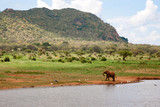 One elephant on the waterhole is hunting the birds