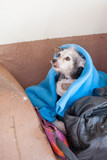 Small homeless dog wrapped in the blanket on the Santa Fe street, New Mexico, USA - 248448645