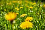 Löwenzahn Blume Wiese