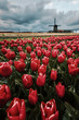 Tulips and windmills in Netherlands. Northern Amsterdam - 248462042
