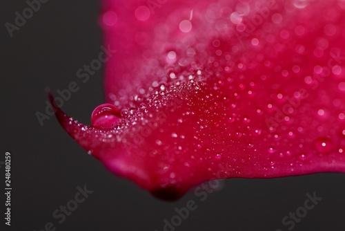 Foto Murales Krople wody na płatkach storczyka